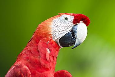 Scarlet Macaw (Ara macao), Amazon, Brazil, South America