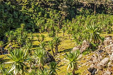 Giant lobelia (Lobelia rhynchopetalum), Simien Mountains National Park, UNESCO World Heritage Site, Amhara region, Ethiopia, Africa