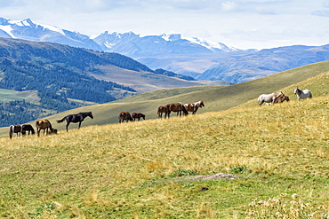 Horses, Ile-Alatau National Park, Tien Shan Mountains, Assy Plateau, Almaty, Kazakhstan, Central Asia, Asia