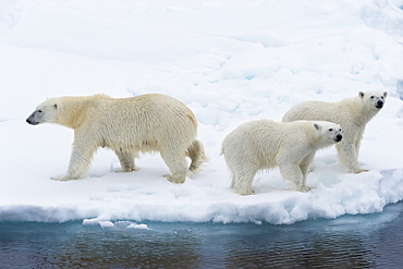 Mother polar bear (Ursus maritimus) with two cubs on the edge of a melting ice floe, Spitsbergen Island, Svalbard archipelago, Arctic, Norway, Scandinavia, Europe