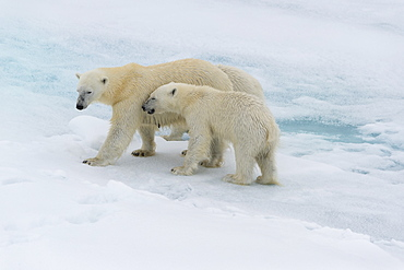 Mother polar bear (Ursus maritimus) walking with a cub on a melting ice floe, Spitsbergen Island, Svalbard archipelago, Arctic, Norway, Scandinavia, Europe