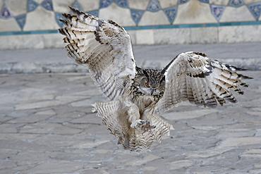 Eagle owl (Bubo bubo) in flight, Turkistan, South region, Kazakhstan, Central Asia, Asia