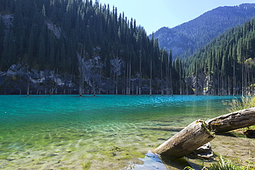 Dried trunks of Picea schrenkiana pointing out of water in Kaindy Lake, Tien Shan Mountains, Kazakhstan, Central Asia, Asia