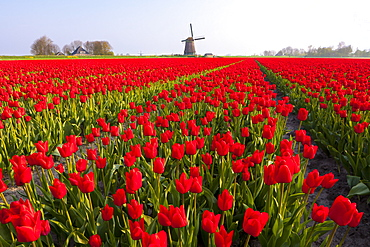 Field of tulips and windmill, near Obdam, North Holland, Netherlands, Europe