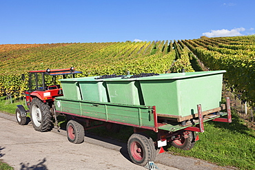 Tractor with a trailer with red wine grapes, Grape Harvest, Esslingen, Baden Wurttemberg, Germany, Europe