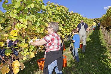 Grape harvest, Esslingen, Baden Wurttemberg, Germany, Europe
