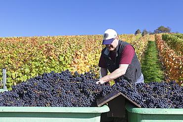 Grape harvest, Uhlbach, Stuttgart, Baden Wurttemberg, Germany, Europe