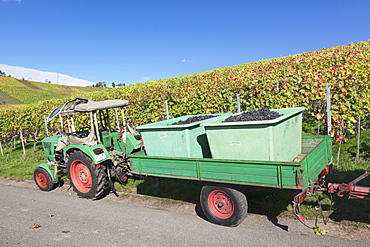 Tractor with a trailer with red wine grapes, Grape Harvest, Uhlbach, Stuttgart, Baden Wurttemberg, Germany, Europe
