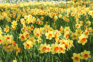 Field of narcissi, Mainau Island in spring, Lake Constance, Baden-Wurttemberg, Germany, Europe