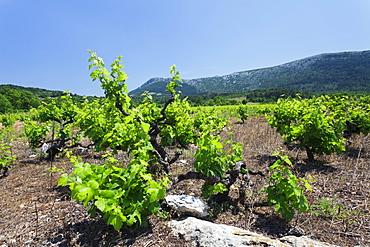 Vineyards, Peninsula Peljesac, Dalmatia, Croatia, Europe