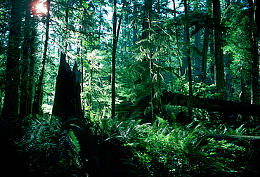 Douglas firs and ferns, Cathedral Grove, Macmillan Provincial Park, British Columbia, Canada