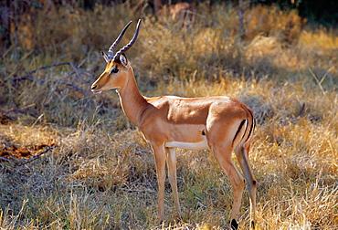 Impala in Moremi National Park, Botswana