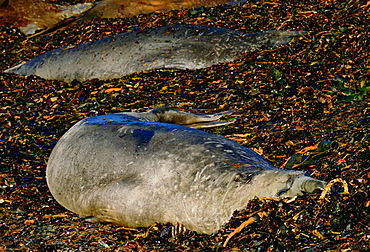 Pair of Elephant seals one showing scars of fighting on neck, Sea Lion Island, Falkland Islands