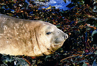 Elephant seal showing scars of fighting on neck, Sea Lion Island, Falkland Islands