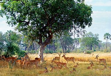 Herd of impala  in Moremi National Park, Botswana