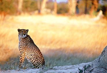Cheetah at sunset sitting by termite mound  in Moremi National Park , Botswana