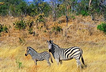 Burchell's Zebra and foal in Northern Botswana, Africa