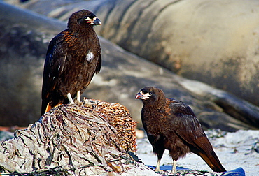 A pair of  Johnny Rook or Striated Caracara (Phalcoboenus australis) birds, one of the world's rarest birds of prey, resting on the beach of Sea Lion Island in the Falklands, South Atlantic.  Behind are elephant seals.