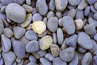 A single shell among sea-washed stones on a beach in Normandy, France