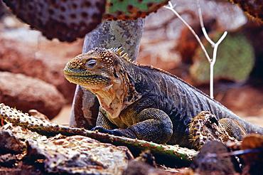 Land iguana camouflaged among cactus plants, Galapagos Islands, Ecuador