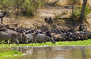 Common Plains Zebra (Grant's) and Buffalodrinking,  Grumeti, Tanzania
