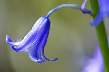 Bluebell, England