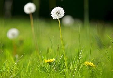 Dandelions growing, England