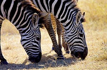 Common Plains Zebra (Grant's) grazing, Ngorongoro Crater, Tanzania