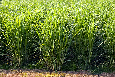 Sugar cane paddock, Freshwater Connection, Australia