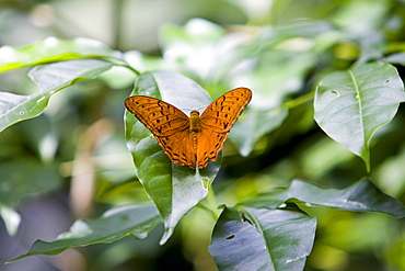Butterfly on a leaf, North Queensland, Australia