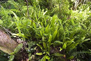 Rubber ferns and Fishbone ferns grow on forest floor in Barron Gorge National Park, Queensland, Australia