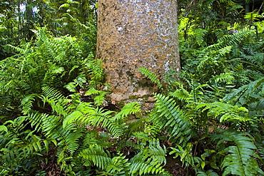 Fishbone ferns growing at base of Kauri Pine tree, Barron Gorge National Park, Queensland, Australia