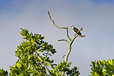 Female Osprey on bare branch of tree, Daintree River, Queensland, Australia