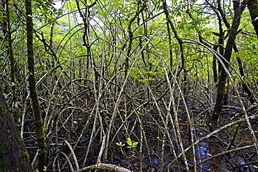 Mangrove roots in Daintree Rainforest, Australia