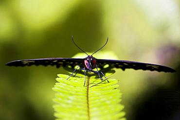 Female Cairns Birdwing butterfly on a fern leaf, North Queensland, Australia