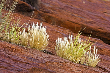 Grass growing in the cracks of Ayers Rock, Uluru, Red Centre, Australia