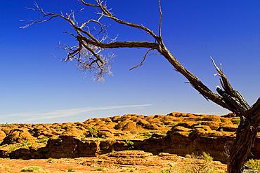 Tree at King's Canyon, Northern Territory, Australia