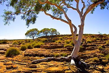 Trees at King's Canyon, Northern Territory, Australia