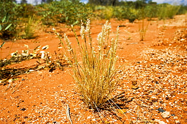 Spinifex grass grows in arid ground at King's Canyon, Northern Territory, Australia