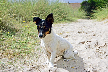 Young Jack Russell Bitch, Utah Beach, Normandy, France.