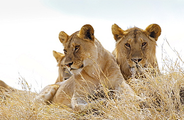 Young lionesses,Serengeti, East Africa