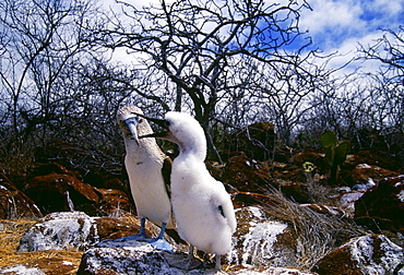 Blue-footed Booby bird feeds juvenile on Galapagos Islands, Ecuador
