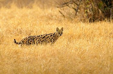 Serval Felis,Tanzania, East Africa