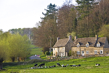 Two people walk past village scene of Oxfordshire cottages and Friesian cows, Swinbrook, The Cotswolds, England, United Kingdom