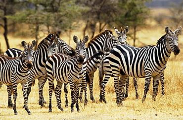 A herd of Common Plains Zebra (Grant's) Grumeti, Tanzania