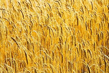 Barley field in Norfolk, United Kingdom
