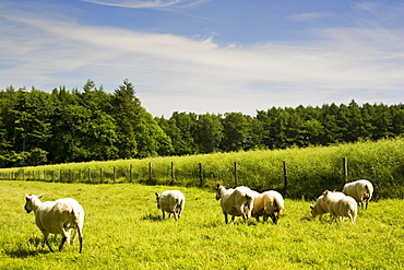 Sheep on a Dorset farm, United Kingdom