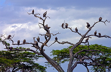 Flock of vultures roosting in trees, Grumeti, Tanzania, East Africa
