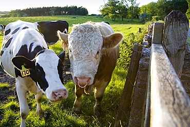 Bull and friesian cow, Oxfordshire, The Cotswolds, United Kingdom