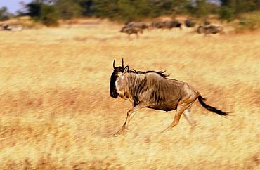 Migrating Blue Wildebeest running, Grumeti, Tanzania